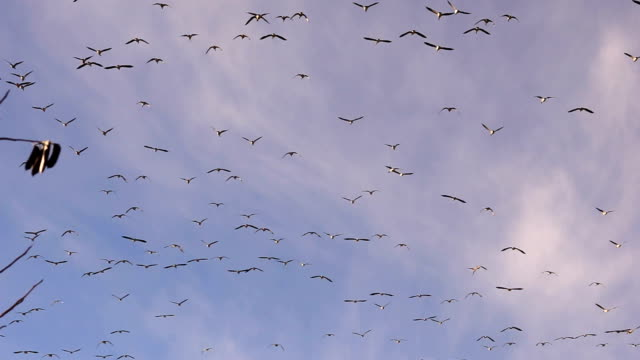 Large Flock Birds Geese Fly Overhead Southern Migration Wildlife Animals video
