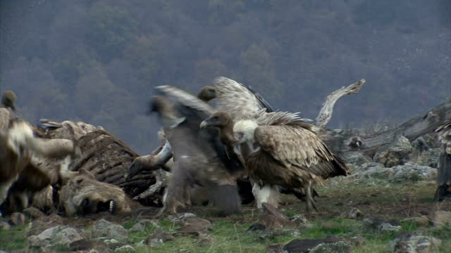 Large flock of Griffon Vultures eating carcass in the mountain Large group of Griffon Vultures eating carcass in the mountain range vulture stock videos & royalty-free footage