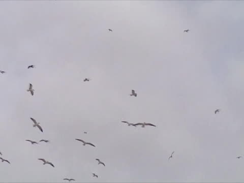 Large flock of gulls on sky Large flock of gulls flying in beach water bird stock videos & royalty-free footage