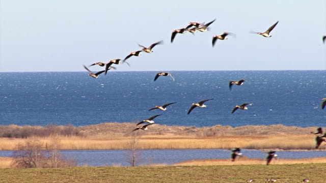 Large flock of White-fronted and Red-breasted flying geese video