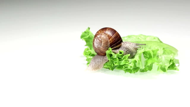 Large garden snail on lettuce, time lapse video