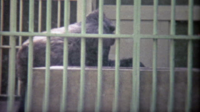 1973: Large gorilla trapped in sad old school zoo cage. video