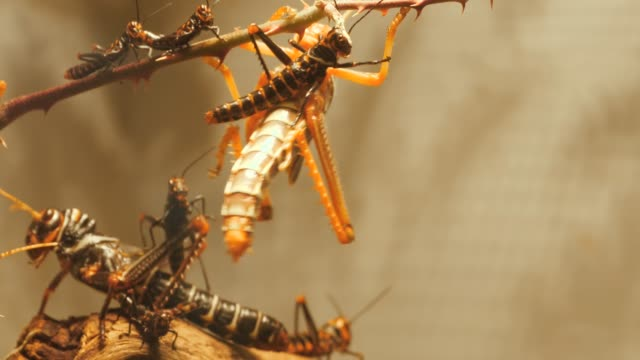 Large grasshoppers with small grasshoppers- close up
