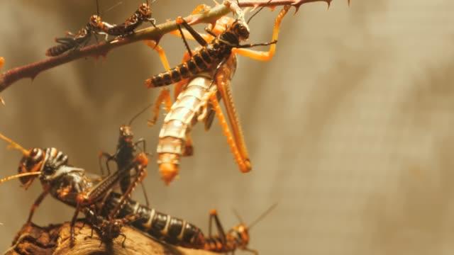 große heuschrecken mit kleinen heuschrecken aus nächster nähe - grashüpfer stock-videos und b-roll-filmmaterial