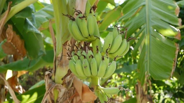 ジャングルのヤシの木に未熟なバナナの大きな緑の束。新鮮な日当たりの良いトロピカルビュー。クローズ アップ - バナナ点の映像素材/bロール