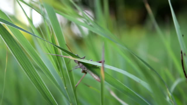 Large green grasshopper sits on a blade of grass in a high fresh forest grass video