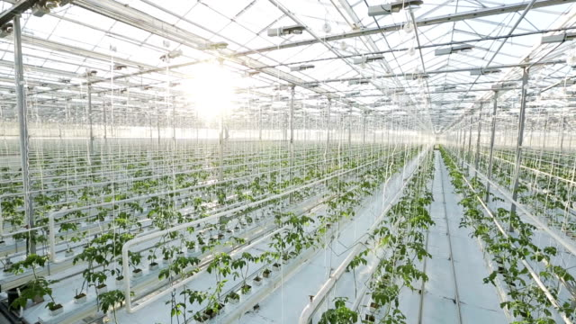 A large greenhouse, a lot of long rows of plants. Rows of plants in a large greenhouse. The camera shoots from the top. parsley stock videos & royalty-free footage