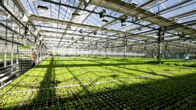 Large greenhouse. Green beds. Woman truck rolls with salad video