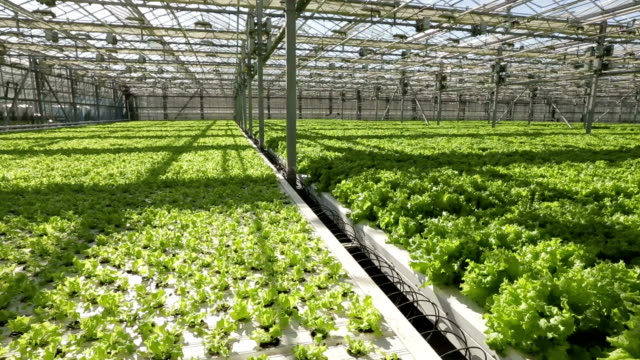 Large greenhouse. Green salad and vegetables. video