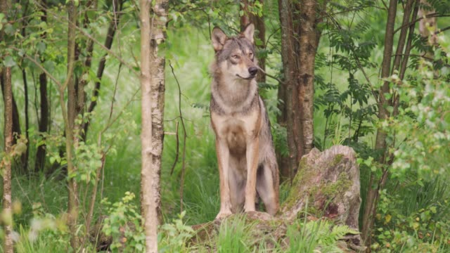 Large grey wolf looking after rivals and danger in the forest