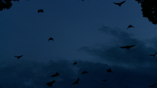 Large Group of Bats at Dusk- Flying Fox video