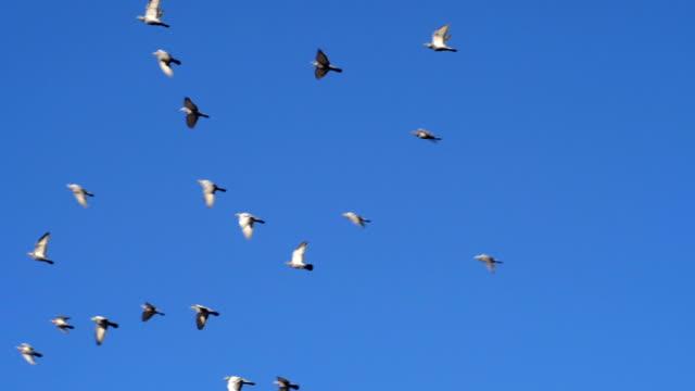 하늘에 대 한 비둘기의 큰 그룹 - 하늘을 나는 새 스톡 비디오 및 b-롤 화면