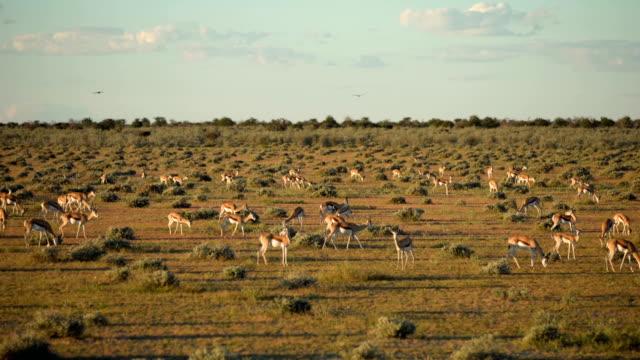 Large group of Impala Antelopes walking on savannah video