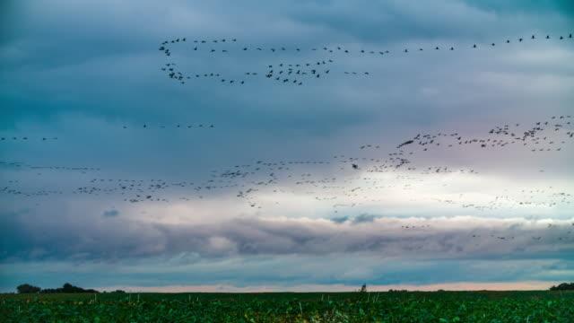 vídeos y material grabado en eventos de stock de gran grupo de aves migratorias - pájaro