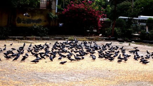 Grande grupo de pombos no Parque Nacional - vídeo