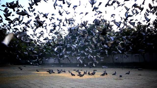 vídeos de stock, filmes e b-roll de grande grupo de pombos - nova delhi