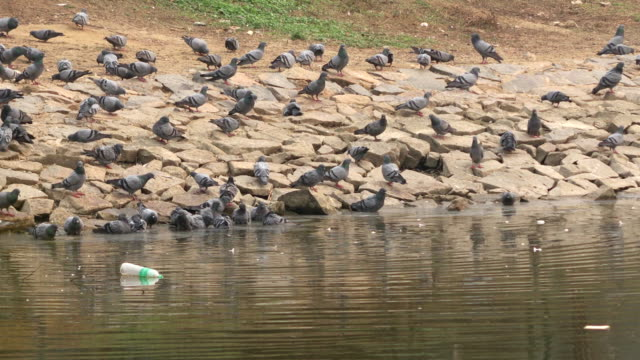 Large group of pigeons video