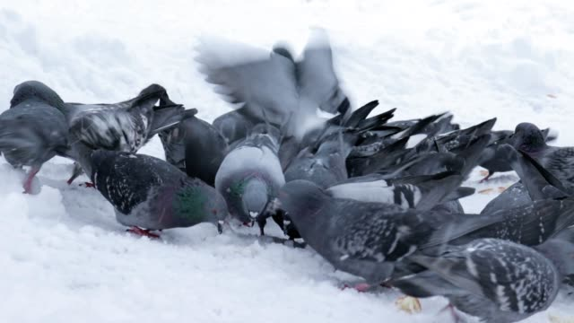 Large group of pigeons walking, pecking at the ground covered with snow and looking for food and bread in winter