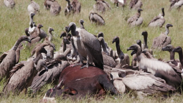 A large group of white backed vultures feeding on a carcass A large group of white backed vultures feeding on a carcass vulture stock videos & royalty-free footage