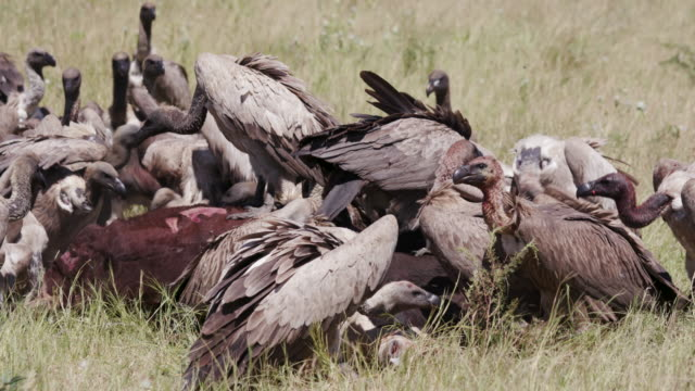 A large group of white backed vultures feeding on a carcass video
