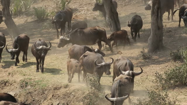Large herd of African buffaloes, Kruger National Park video