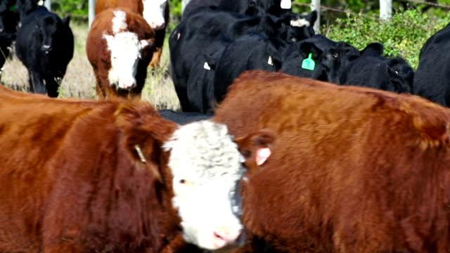 Large herd of cattle walking in line video