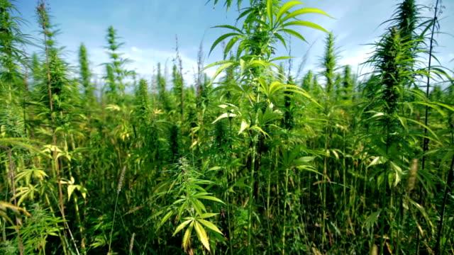 HD: Large industrial hemp plants video