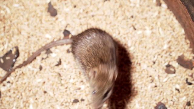 vidéos et rushes de grand rat infecté se dresse sur ses pattes postérieures sur le grain - grange