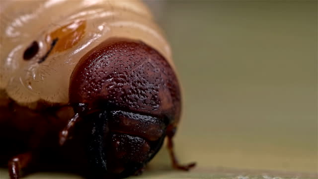 Large insect larva moves paws video