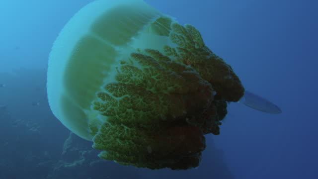 vídeos y material grabado en eventos de stock de grandes medusas (rhizostomae sp) que alberga caballas juveniles, gran barrera de coral. a cámara lenta. filmado en cámara roja con luz natural. - micronesia