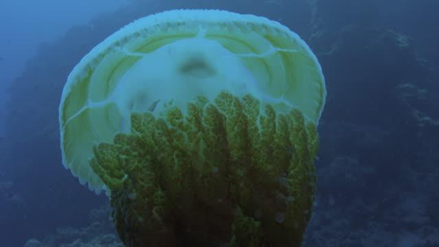 vídeos y material grabado en eventos de stock de grandes medusas (rhizostomae sp) que alberga caballas juveniles, gran barrera de coral. a cámara lenta. filmado en cámara roja con luz natural. - palaos