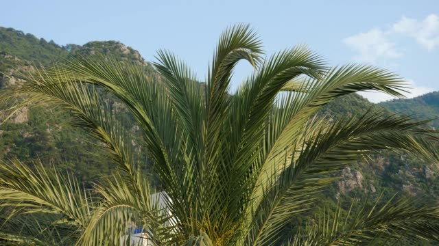 large leaves of the palm in Marmaris