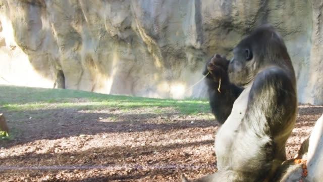 大きな雄のゴリラは、静かに枝から葉を食べる - 動物園点の映像素材/bロール