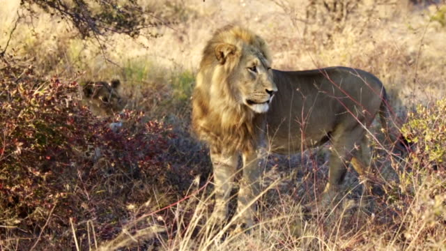 A large male Lion looks around at Chobe Game Reserve in Botswana video