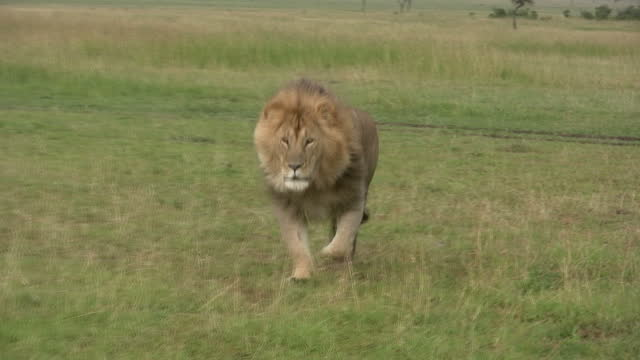 A large male lion running towards the camera