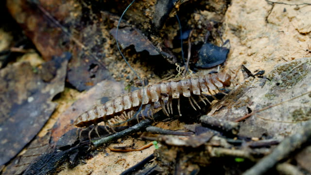 Large Millipede inspecting forest floor Large Millipede inspecting forest floor at Borneo Island, Malaysia. Macro stock footage. arthropod stock videos & royalty-free footage