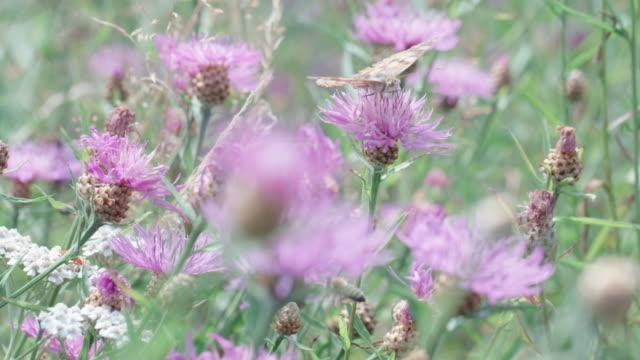 vídeos de stock e filmes b-roll de large moth on a wildflower in the black forest - granadilha