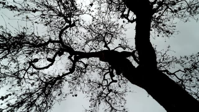 Large Oak Tree in Ojai video