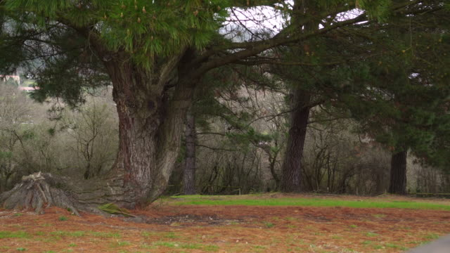 a large pine tree in a park with branches and green needles moves in the wind - pianta sempreverde video stock e b–roll