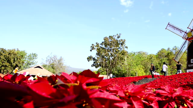 Large poinsettia and old windmill video