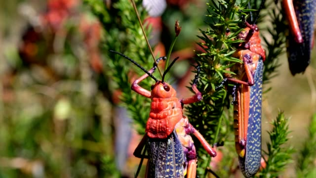 Large red grasshoppers on a plant