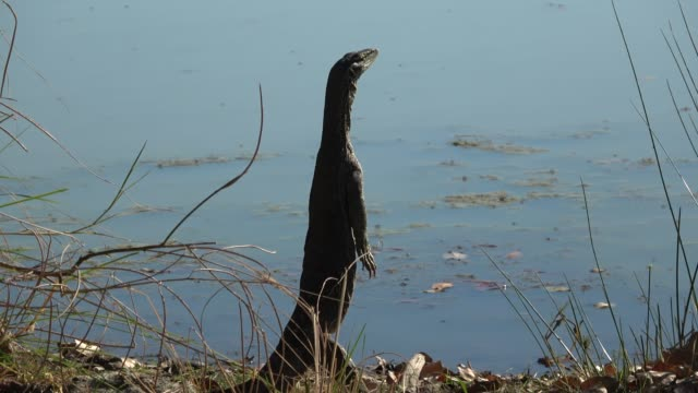 vidéos et rushes de grand sable goanna - reptile