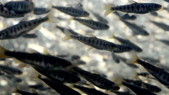 Large School of Salmon Fry 2 video