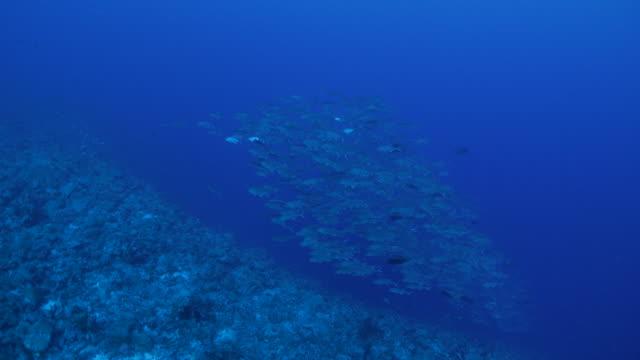 vídeos y material grabado en eventos de stock de escuela grande de jurel jack en el arrecife del mar profundo - zona pelágica