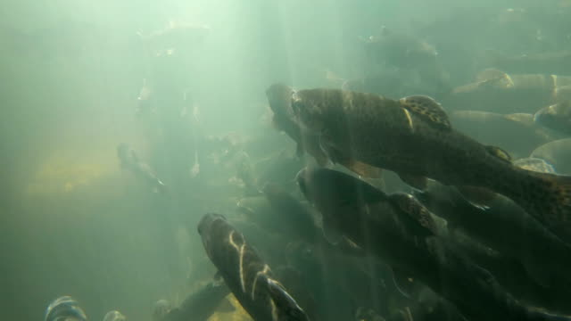 large school of trouts swimming. underwater shot. - trout video stock e b–roll