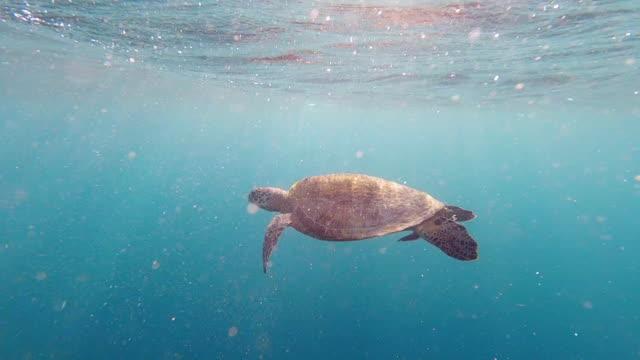 Large Sea Turtle Swimming Underwater