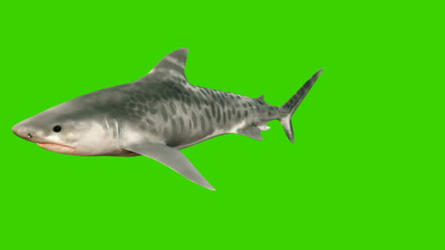 A large shark swims under water with a wide open mouth full of sharp dangerous teeth. 3d animation with green screen.