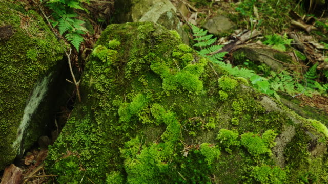A large stone in the forest. All is covered with moss. Humid climate