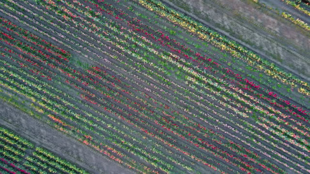 Large tulip field overhead view zooming from sky This is a video clip of a large tulip field zooming from sky diving to the ground stock videos & royalty-free footage