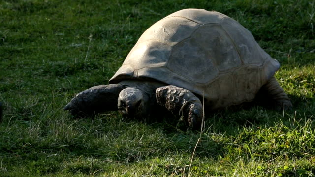 Large Turtle Chewing On Grass A giant turtle slowly eating grass on a warm afternoon day. tortoise shell stock videos & royalty-free footage